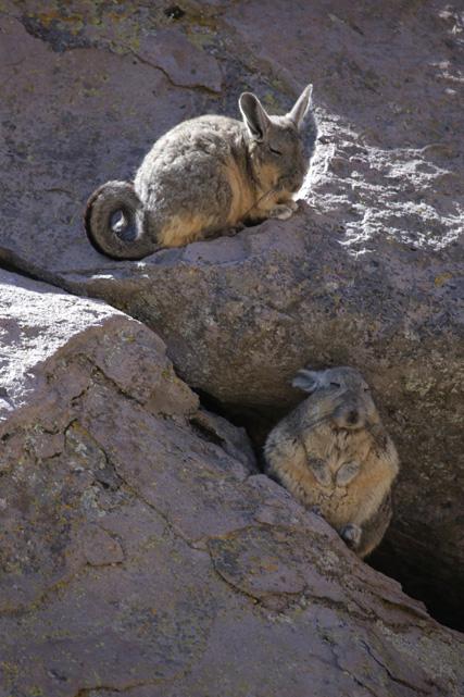 Viscachas