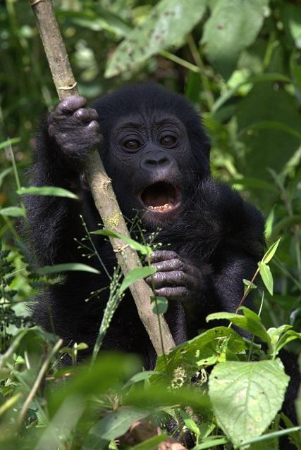 Gorilla kid screaming