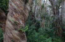 Arrayan Wald