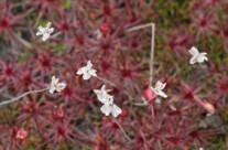 Edelweiss am Stiel