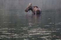 Moose (3)