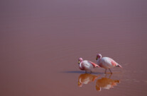 Flamingos in Farbe
