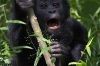 Gorilla kid screaming