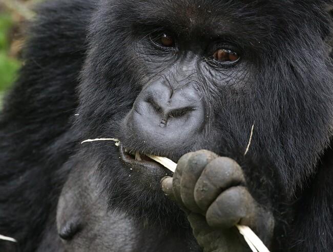 Gorilla chewing