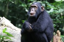 Chimpanzee talk