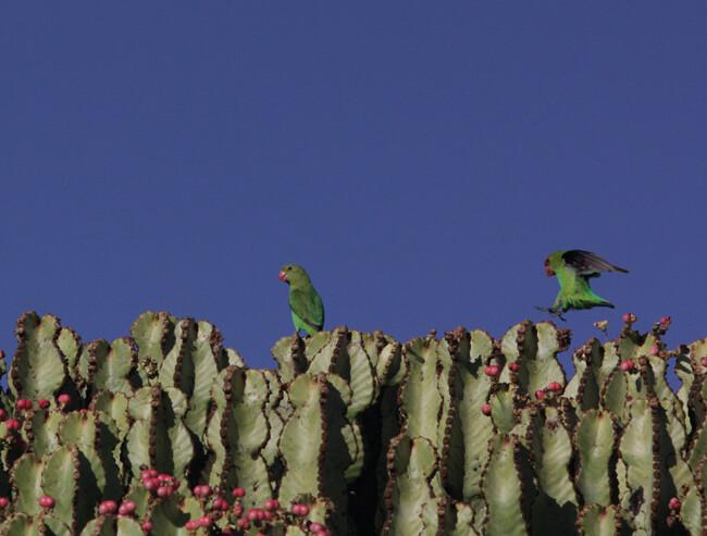 Black Winged Lovebirds