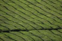 Tee, São Miguel