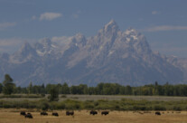 epic: buffaloes in front of the Grand Tetons